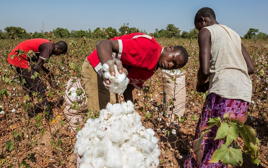 Cotton producers move to recover N4 billion CBN loan , Anchor Borrower Programme: Cotton farmers expected to pay bank N5.2 billion