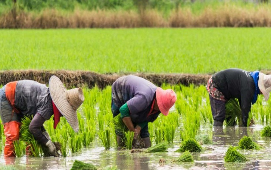 order Closure: Nigerian rice farmers are struggling to feed a rice-hungry nation